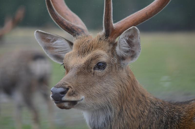 Maral (red deer) in the reserve. a group of deer on an animal farm royalty free stock photos