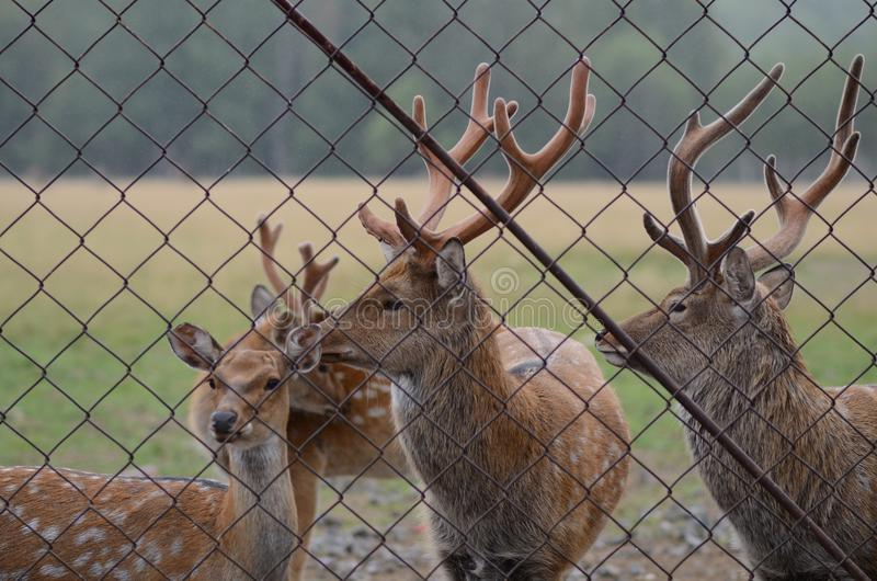 Maral (red deer) in the reserve. a group of deer on an animal farm stock image