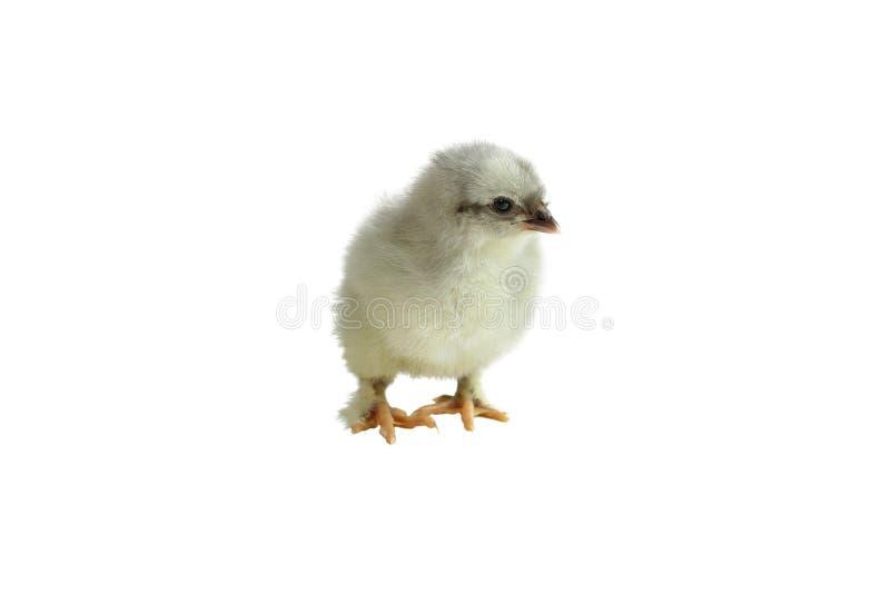Maran de cobre azul francês Chick Isolated sobre um fundo branco foto de stock royalty free