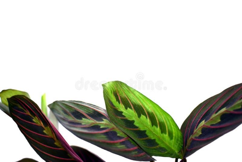 Maranta leuconeura -祷告植物,被隔绝 库存照片