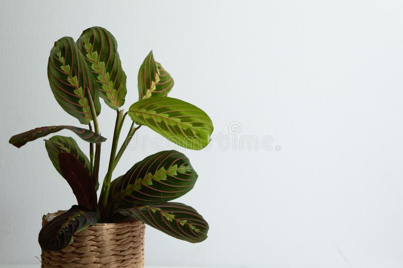 Maranta Tricolor op witte achtergrond royalty-vrije stock foto