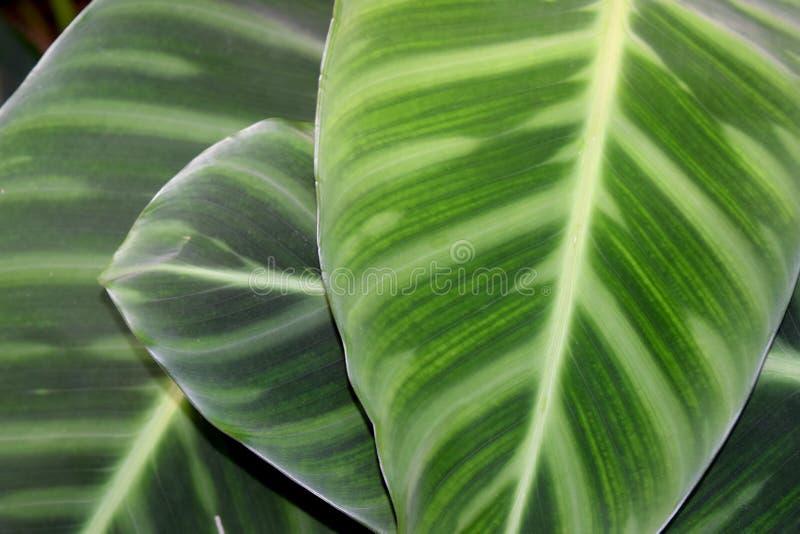 MARANTHACEAE -绿色叶子层数自然摘要背景 免版税库存图片