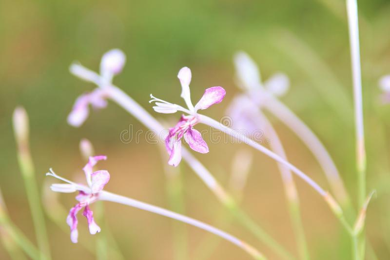 Maravilha roxa - fundo da flor selvagem - África. fotos de stock royalty free