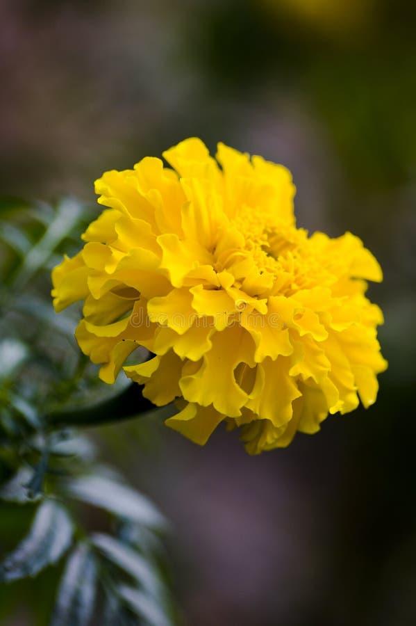 Maravilla amarilla imagen de archivo libre de regalías