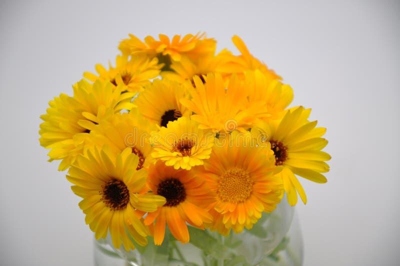 Maravilla amarilla en un vidrio Flor con el fondo blanco imagenes de archivo