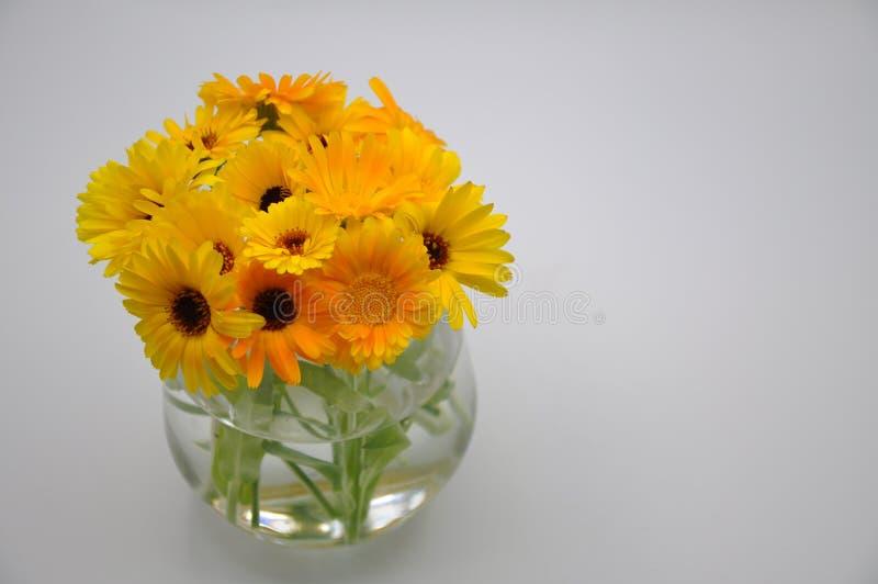 Maravilla amarilla en un vidrio Flor con el fondo blanco fotos de archivo