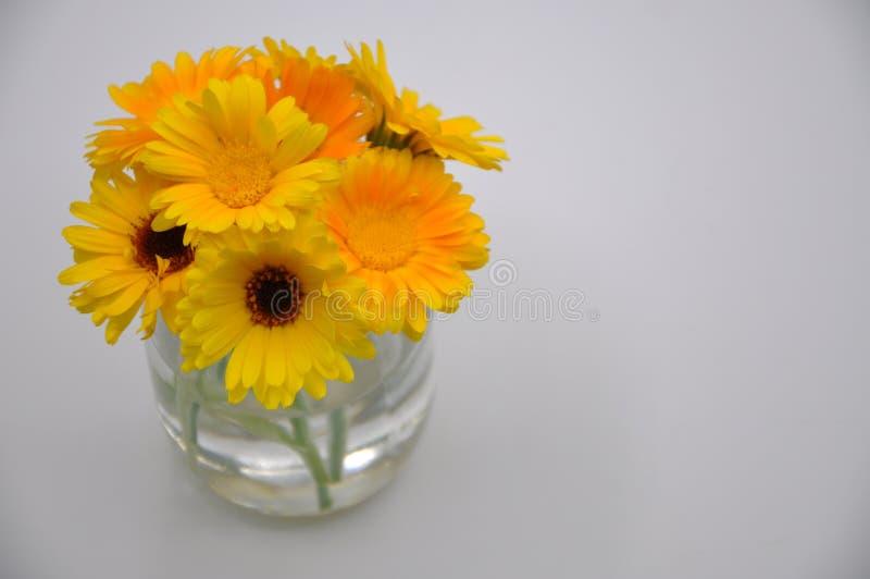 Maravilla amarilla en un vidrio Flor con el fondo blanco fotografía de archivo libre de regalías