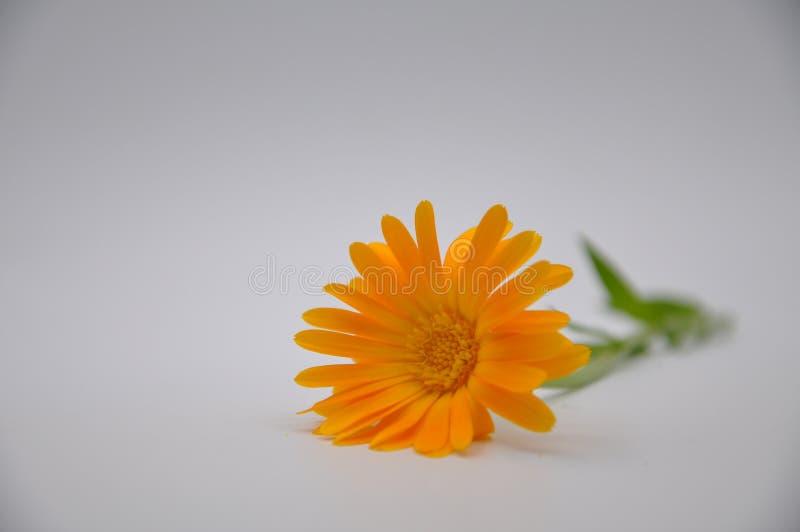 Maravilla anaranjada Flor con el fondo blanco fotografía de archivo