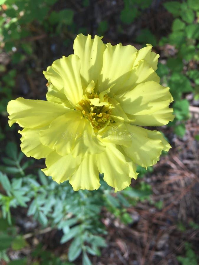 Maravilla en amarillo Las maravillas vienen en una variedad de colores fotos de archivo libres de regalías