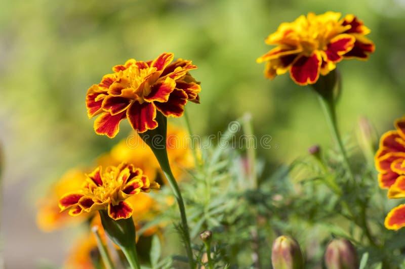Maravilla francesa del patula de Tagetes en la floración, manojo de amarillo anaranjado de las flores, hojas verdes, pequeño arbu foto de archivo
