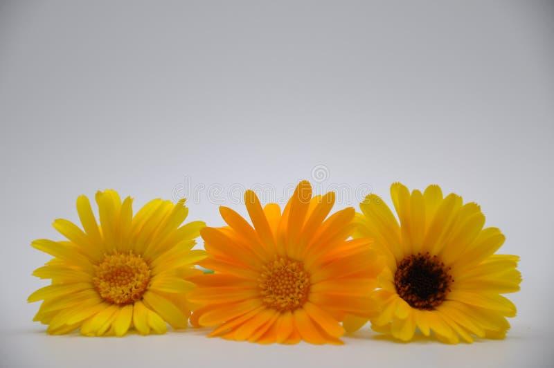 Maravillas amarillas Flores con el fondo blanco imagen de archivo