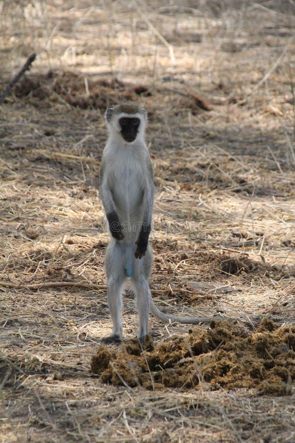 Maravillosamente opinión el mono en el parque nacional del ruaha fotos de archivo libres de regalías