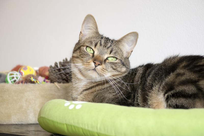 Marble cat relaxing in comfortable green cat bed with white paw prints, beautiful lime eyes, serious expression royalty free stock images