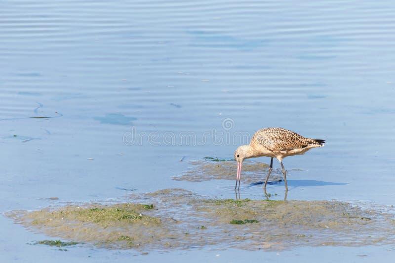 Marbled Godwit comendo em águas rasas do pântano fotos de stock royalty free