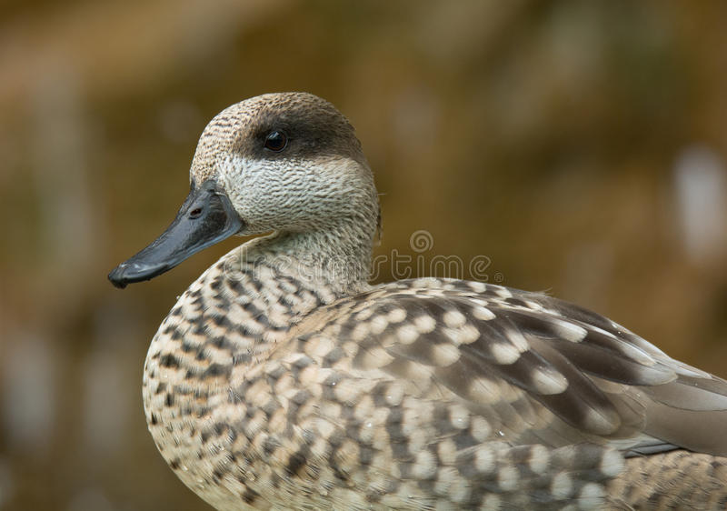 Marbled Teal. A beautiful female or hen Marbled Teal stands nicely for a photograph amidst the other birds in an aviary stock photography