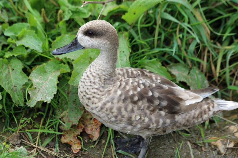 Marbled teal duck. Marmaronetta angustirostris, standing on mud and facing to the left with plants blurred in the background stock photo