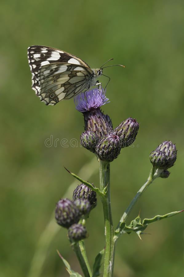 Download Marbled White Butterfly stock photo. Image of gloucestershire - 11548416