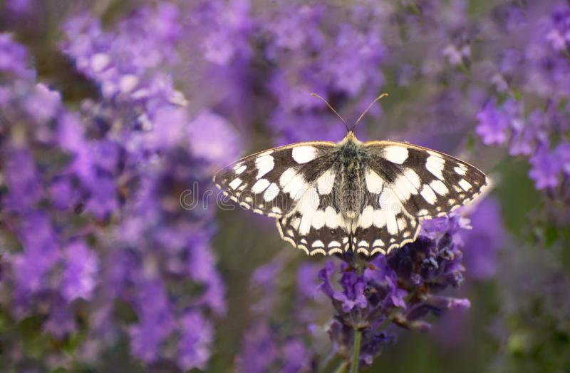 Marbled White Butterfly on Lavender Flowers. A marbled white butterfly Melanargia galathea with wings spread in full view on lavender flowers in the UK royalty free stock photography