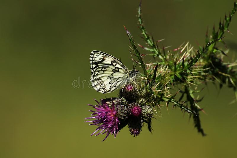 A marbled white butterfly feeding on a thistle flower. A marbled white butterfly rests on a purple thistle flower, against a green background stock images