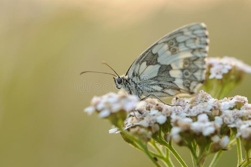 Marbled White (Melanargia Galathea). This is a butterfly on a plant royalty free stock image