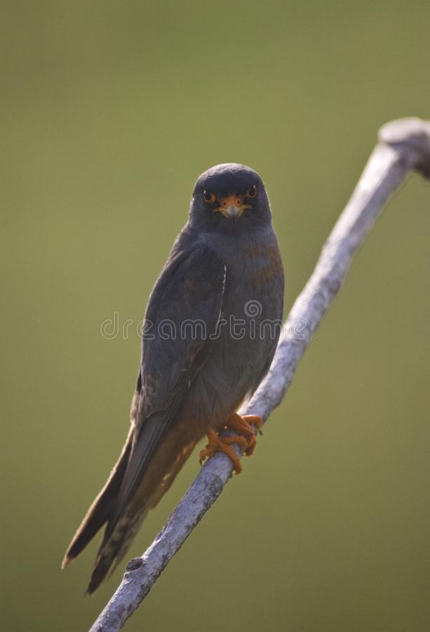 Marc Guyt / www.agami.nl. Roodpootvalk, Red-Footed Falcon, Falco vespertinus stock image