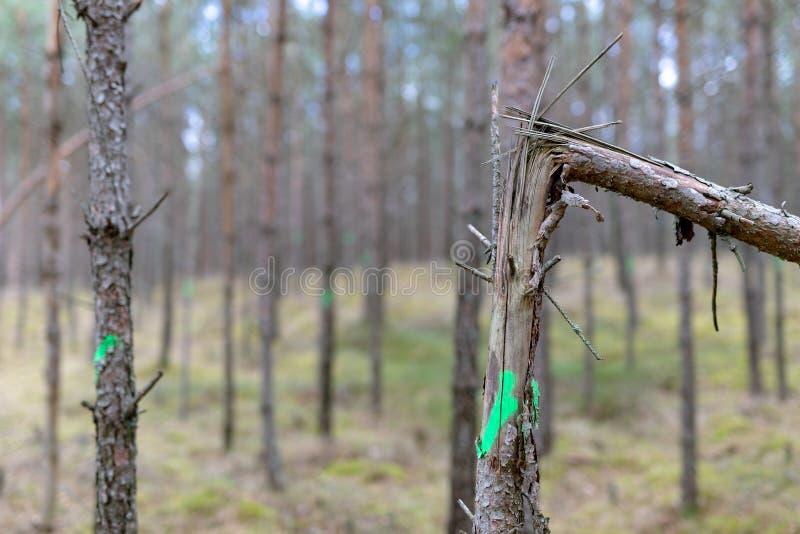 Marcado de árboles en el bosque joven que se cortará Silvicultura en un soporte de bosque unagainable foto de archivo