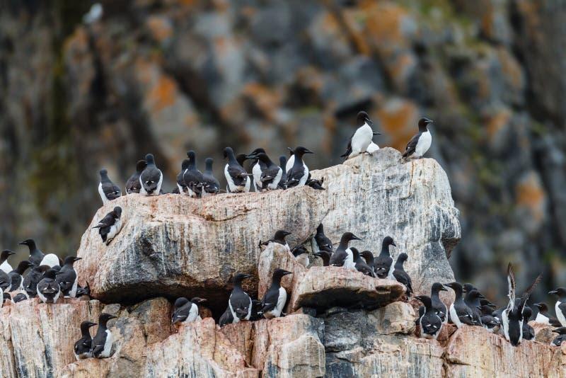 Marché d'oiseau sur le rivage occidental du Spitzberg photographie stock libre de droits