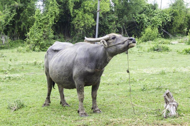 Marché de revente Buffalo et vaches Thaïlande photographie stock