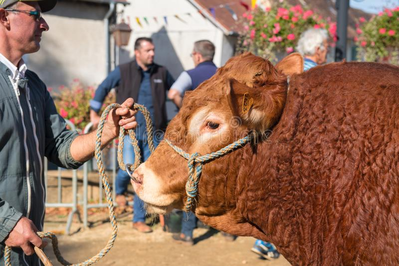MARCHÉ DE SAINT-GERMAIN-LES-BELLES NOUVELLE-AQUITAINE-COW image libre de droits