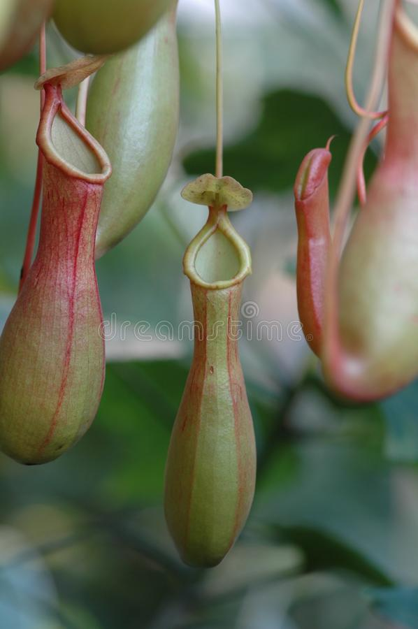 Nepenthes. In March 18, 2006, the characteristic Chrysanthemum Exhibition in Jiangxi was held in Nanchang, with a wide variety of varieties. The chrysanthemum is stock photography