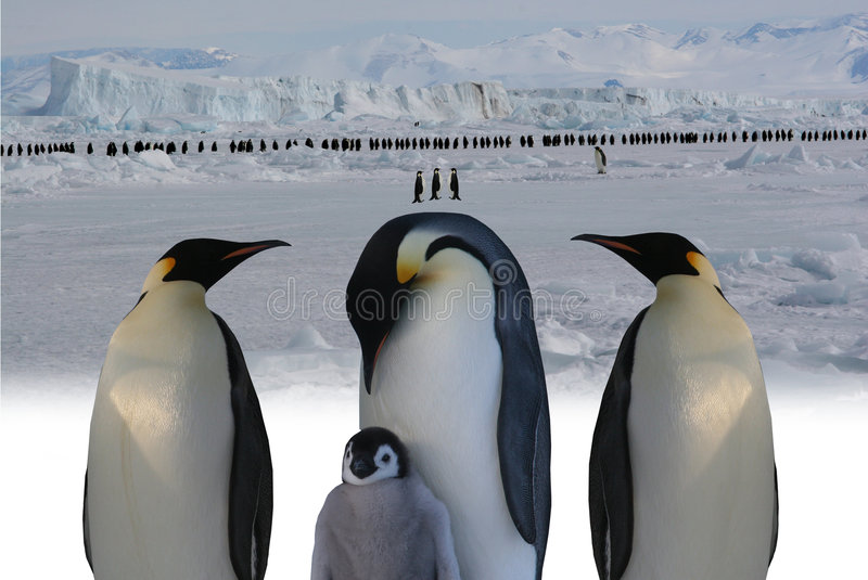 March of emperor penguins. Antarctic - The march of emperor penguins