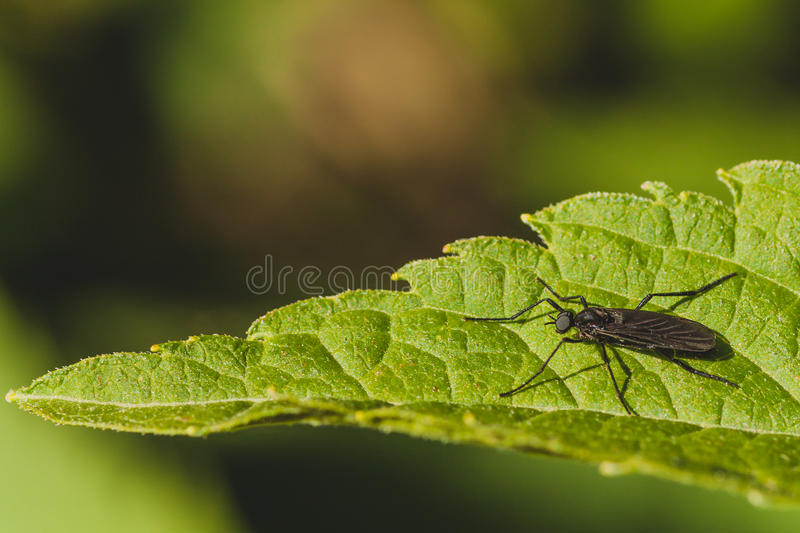 Download March Fly on Leaf stock image. Image of canada, macro - 59534255