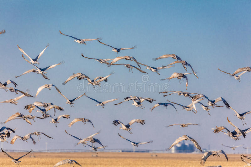 MARCH 7, 2017 - Grand Island, Nebraska -PLATTE RIVER, UNITED STATES Migratory Sandhill Cranes fly over cornfield at sunrise as par. T of their spring migration stock photos