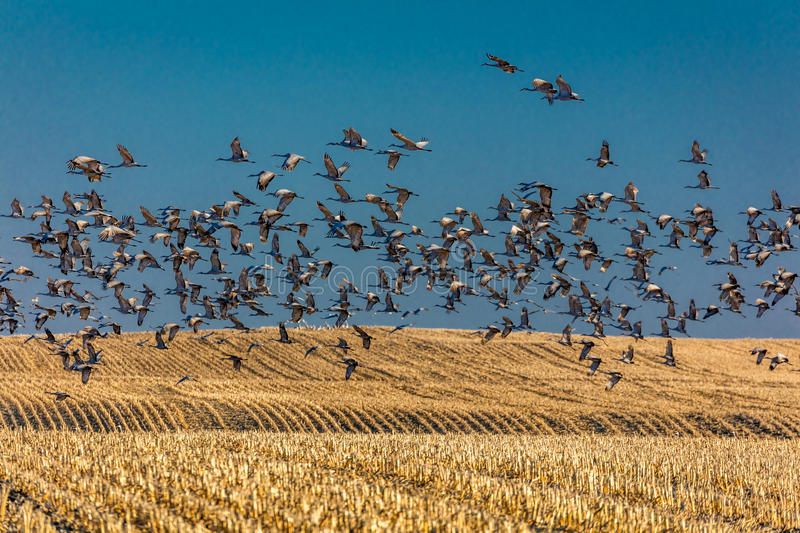 MARCH 7, 2017 - Grand Island, Nebraska -PLATTE RIVER, UNITED STATES Migratory Sandhill Cranes fly over cornfield at sunrise as par. T of their spring migration stock images