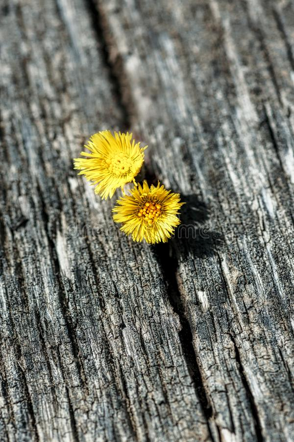 8 march happy womens day. Two yellow wildflowers on the background of an old wooden board stock photos