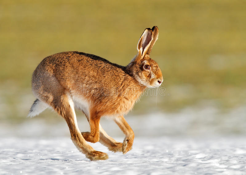 March hare. Common european hare running over a snow covered field in spring
