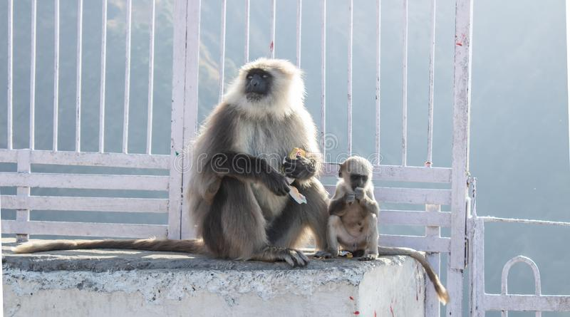 March 2017, at Jammu, India : a baby monkey with its mother holding a biscuit packet stolen from tourists. At jammu, india : a baby monkey with  mother royalty free stock images