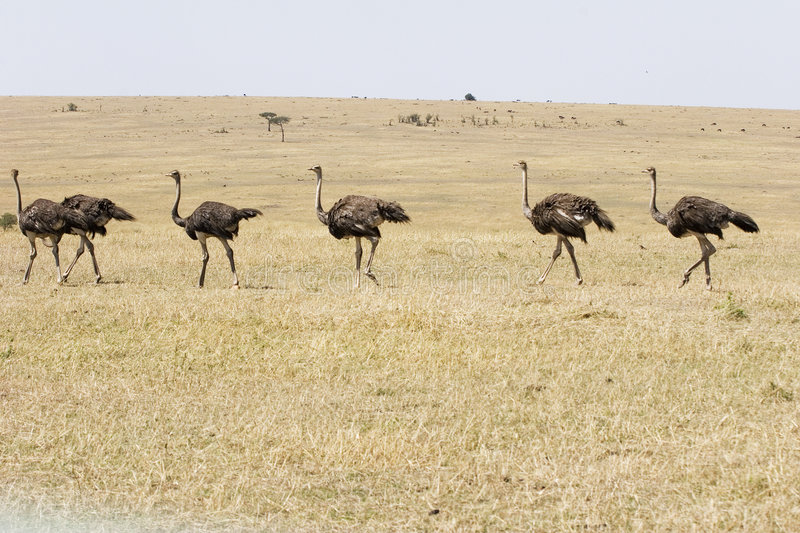 March Of The Ostriches Stock Photography