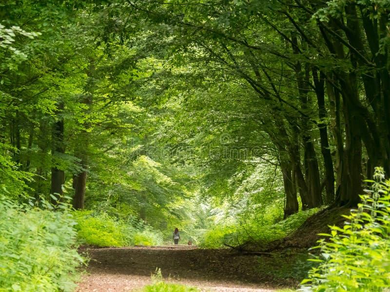 Marchant le chien par la forêt de hêtre photographie stock libre de droits