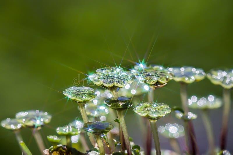 Marchantia拉特一棵四季不断的植物  Marchantia 图库摄影