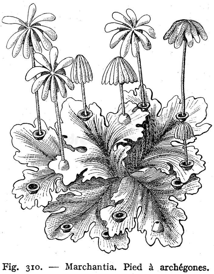 Marchantia-mousse-2 Free Public Domain Cc0 Image