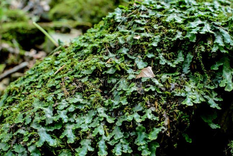 Marchantia polymorpha共同的地钱或伞地钱 免版税库存图片