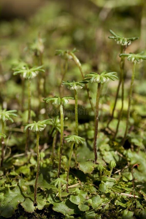 Marchantia polymorpha 库存图片