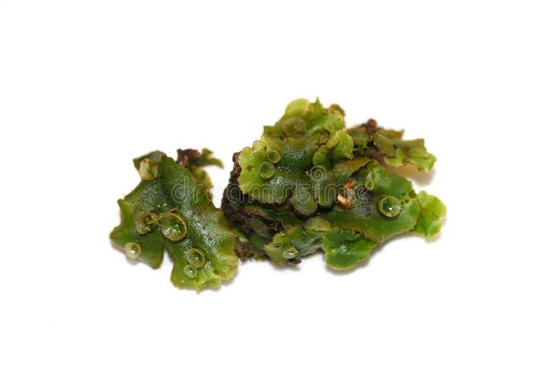Marchantia polymorpha Liverwort lizenzfreies stockfoto