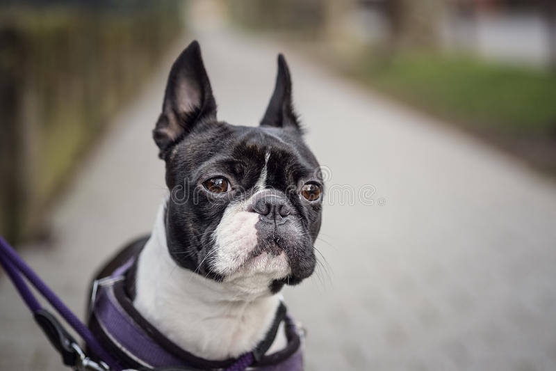 Marche avec Boston Terrier images libres de droits