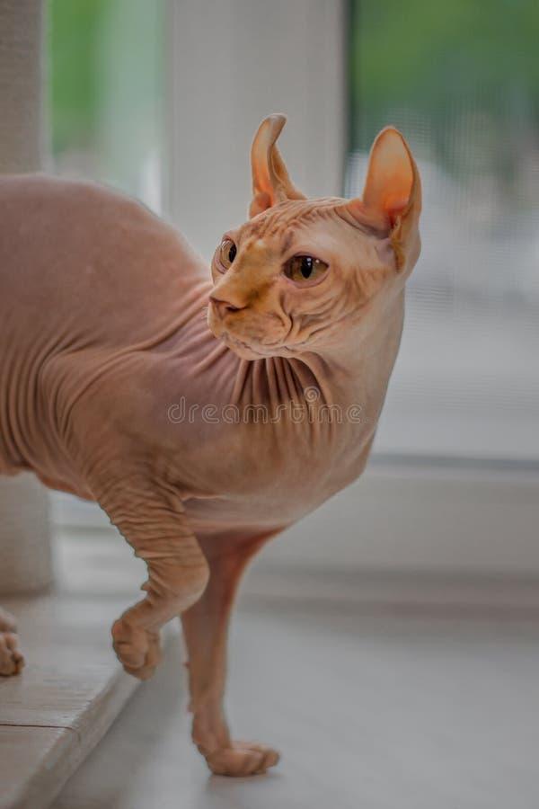 Marche chauve de chat de sphinx image libre de droits