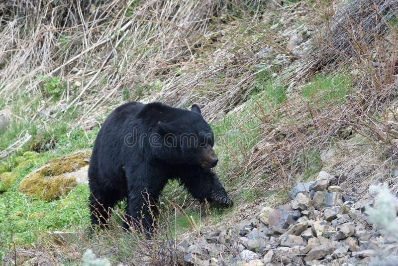 Marche d'ours images libres de droits