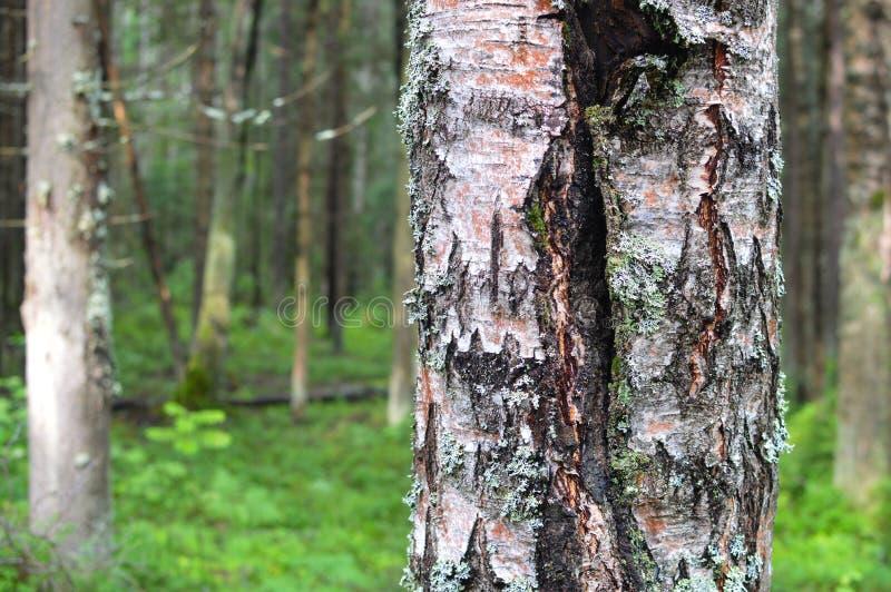 Marche dans le bois de matin d'été de forêt photo libre de droits