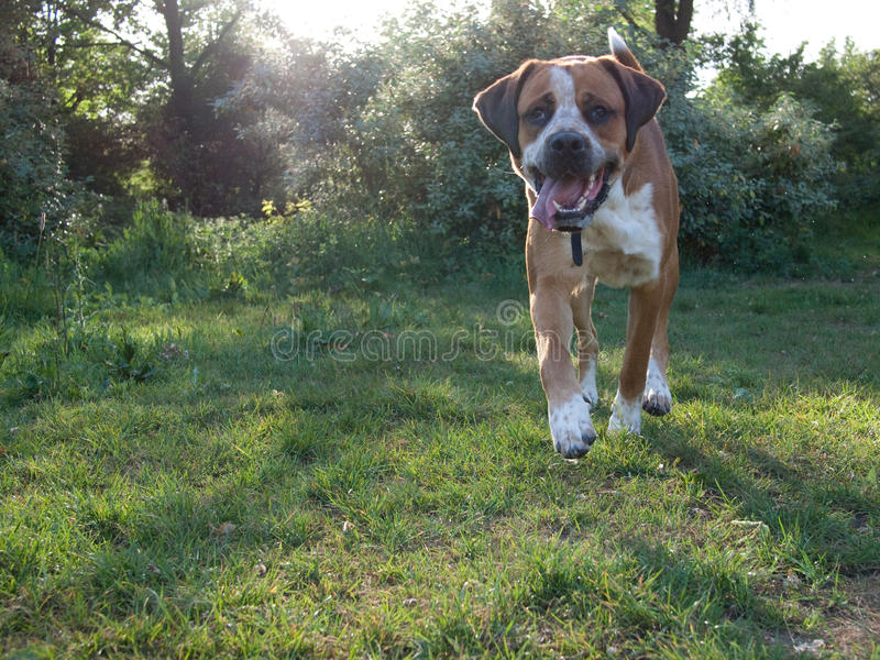 Marche de chien images stock