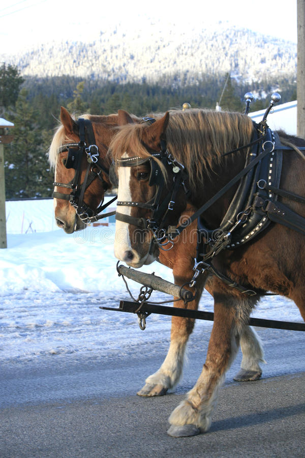 Marche de deux chevaux de trait. image stock
